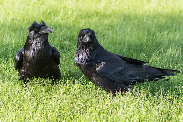 Two ravens in the grass.