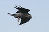 Raven in flight, feet extended, wings bent 2004 September 13