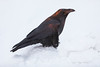 Raven standing on snow bank at sunrise.