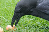 Raven eating an egg. Close up of head.