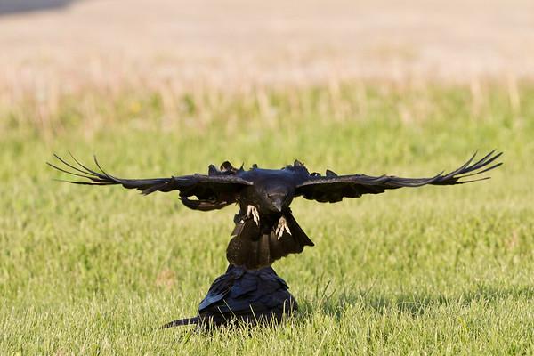 Crow harrassing raven.