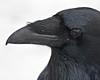 Head shot of Common Raven.