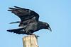 Raven just landed on utility pole 2004 September 13