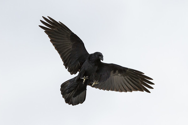Raven in flight, wings out, tail narrow, feet extended, gazing down.