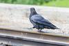 Raven walking on railway tracks.