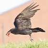 Raven flying with meat in beak