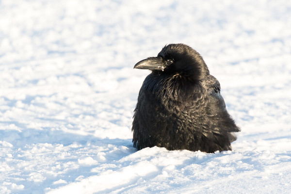 Raven sitting on the snow of the Moose River, head turned, eye opened.