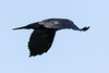 Raven in flight. From behind and to side, one wing down.
