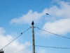 Raven on utility pole being harassed by small birds.