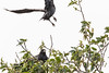 Raven in a tree across the road while another raven takes off (only partly in frame) 2018 August 12.