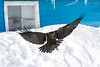 Raven coming to land on snow bank. Wings outstretched.