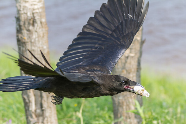 Juvenile raven flying with a piece of lard in its beak.