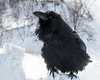 Raven sitting on snow. Tip of one claw out of frame.