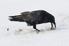 Raven caching an egg in shallow snow.