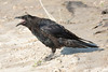 Juvenile raven, beak open, on clay surface