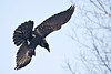 Raven descending, headed away from camera