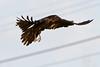 Raven in flight, wings out.