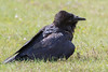 Raven in the grass, head twisted to side, head feathers raised.