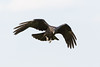 Juvenile raven in flight, wings bent, feet pointing down.