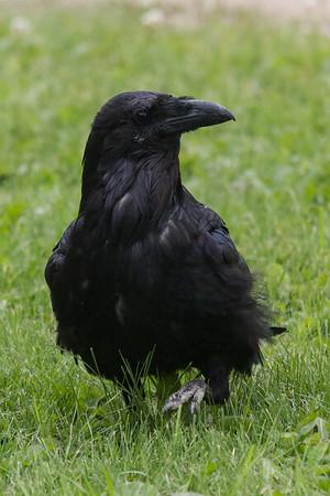 Raven walking on grass.