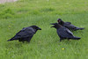 Two juvenile ravens beg for food from an adult.