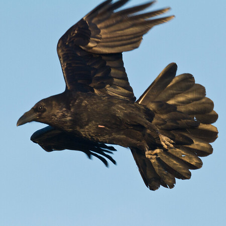 Raven in flight, one wing tip out of frame