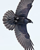 Raven overhead, feet partially extended, wingtips out of frame, snow on beak