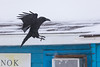 Raven about to land on roof at Keewaytinok Native Legal Services.