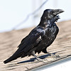 Raven on roof.