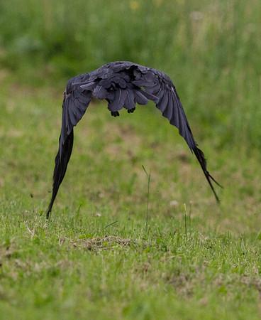 Raven in flight frm behind, windgs down.