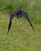 Raven in flight frm behind, windgs down.