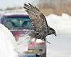 Raven brushes against snowbank as it comes in to land, note red areas on wing (?) 2008 February 7