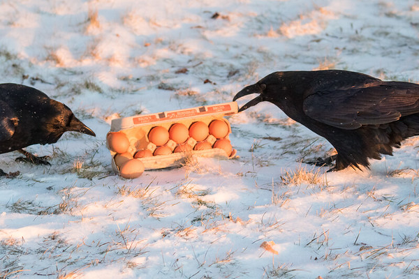 Raven opening a carton of eggs while a second raven watches.