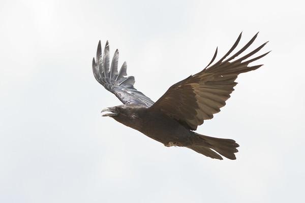 Raven in flight, wings up.