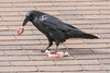 Raven enjoying meat on the roof. Raven has removed a small piece of meat which it will then cache for later consumption.
