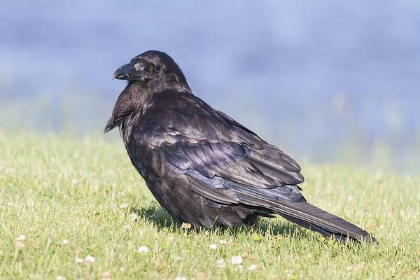 Raven on the grass along the Moose River.