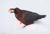 Raven with egg inits beak at sunrise. Tail out of focus.