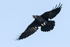 Raven in flight, nictating membrame over eye. wings straight.