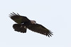 Raven in flight, one wing slightly bent, tail spread, feet curled.