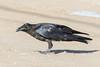 Juvenile raven crouching.
