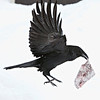 Raven with piece of meat in beak, flying close to ground.