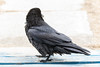 Raven on front porch, chuffed up. Facing away from camera.
