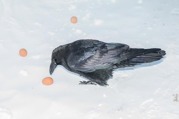 Raven picking an egg.