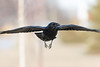 Raven in flight, head turned, wings out, wingtips out of frame.
