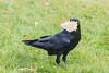 Raven holding sandwich.