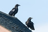 Two juvenile ravens on a roof.