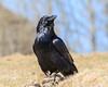 Raven on the ground looking skyward.