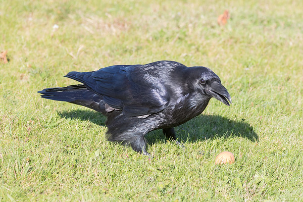 Raven near an egg on the ground.