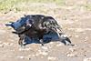Raven, on ground, beak open, tossing dirt around.