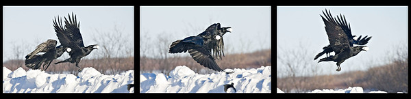 Sequence of three shots of two ravens in flight